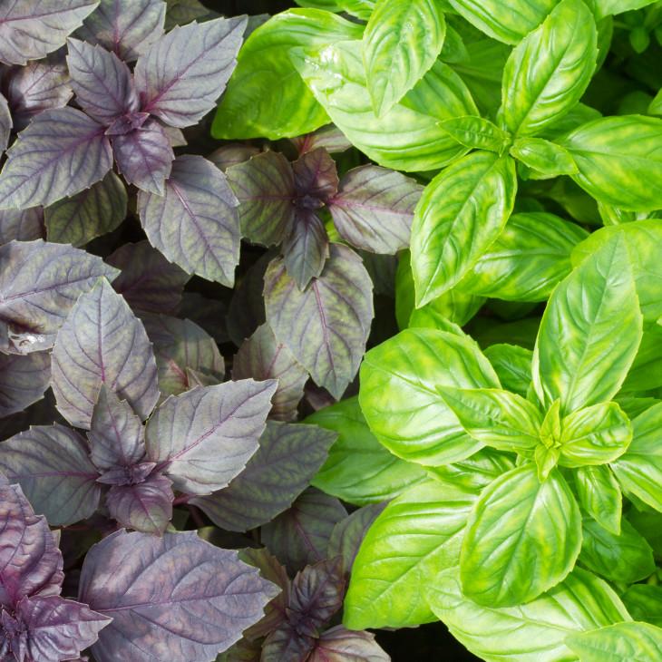 Летние витамины: польза базилика и самые вкусные сочетания