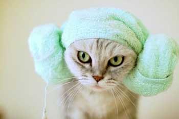 13814 Как часто можно мыть кошку шампунем, сколько раз моют кошек?