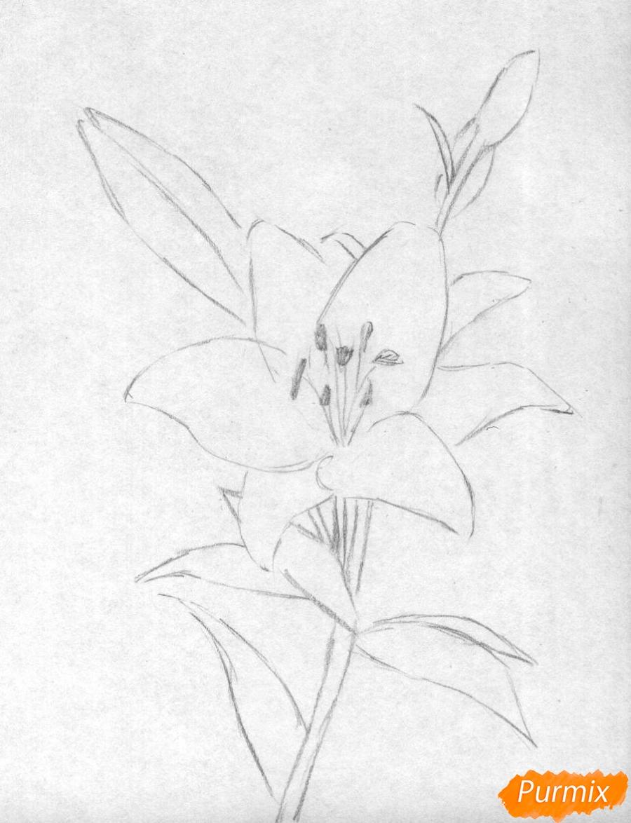 16519 Как нарисовать лилию карандашом поэтапно для начинающих